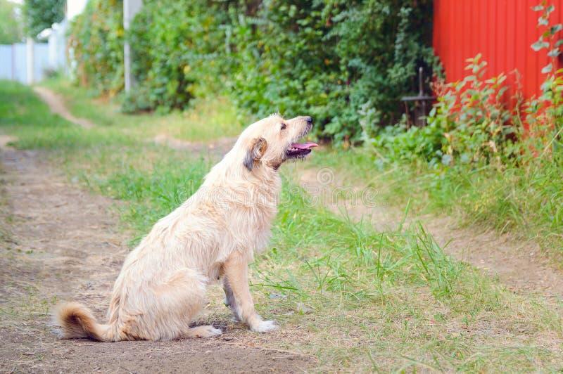 En hemlös vänlig hund sitter på vägen i byn fotografering för bildbyråer