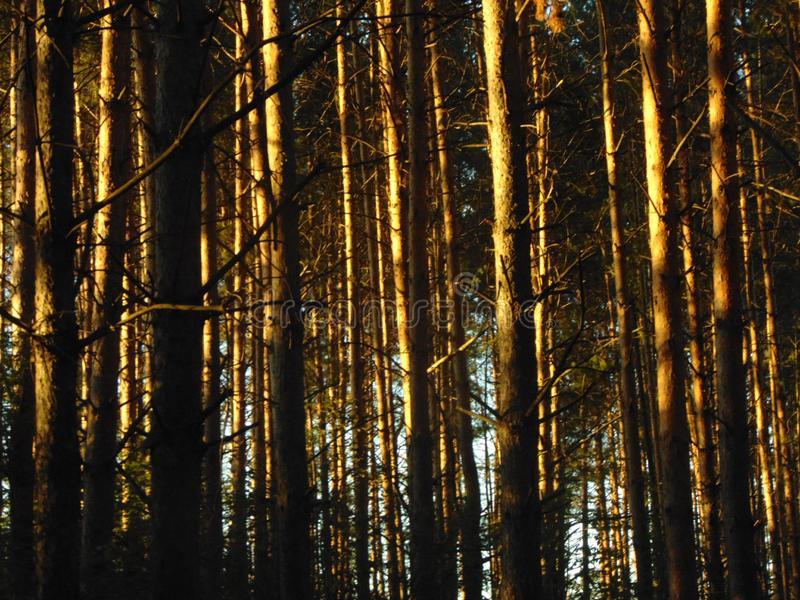 En het bos heeft de zonsondergangkoorden uitgespreid stock foto