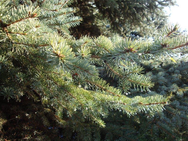 En hiver, les flocons de neige se sont accrochés admirablement aux branches d'arbre de Noël Bon esprit de nouvelle année photos libres de droits