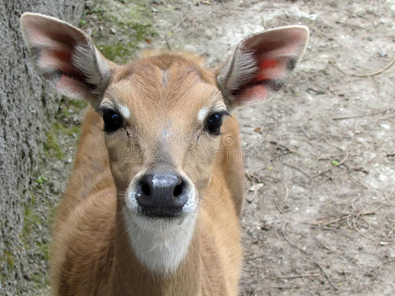 En hjort är i en zoo, ser i en kammare royaltyfri fotografi