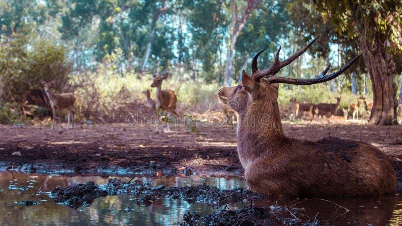 En hjort i väg från flocken arkivbilder