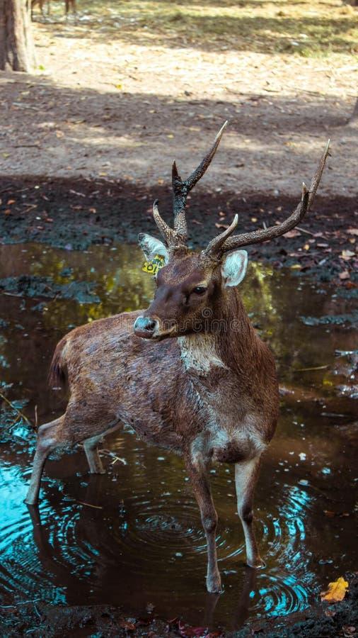 En hjort med härliga horn arkivbild