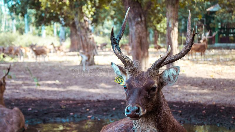 En hjort med härliga horn royaltyfria foton