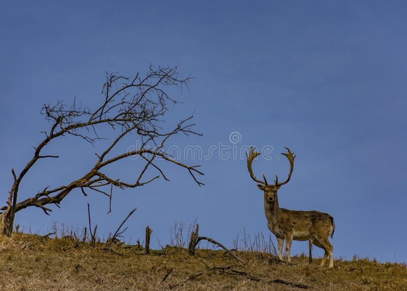 En hjort på en kulle och ett ensamt brun grönt fält för träd och royaltyfri fotografi