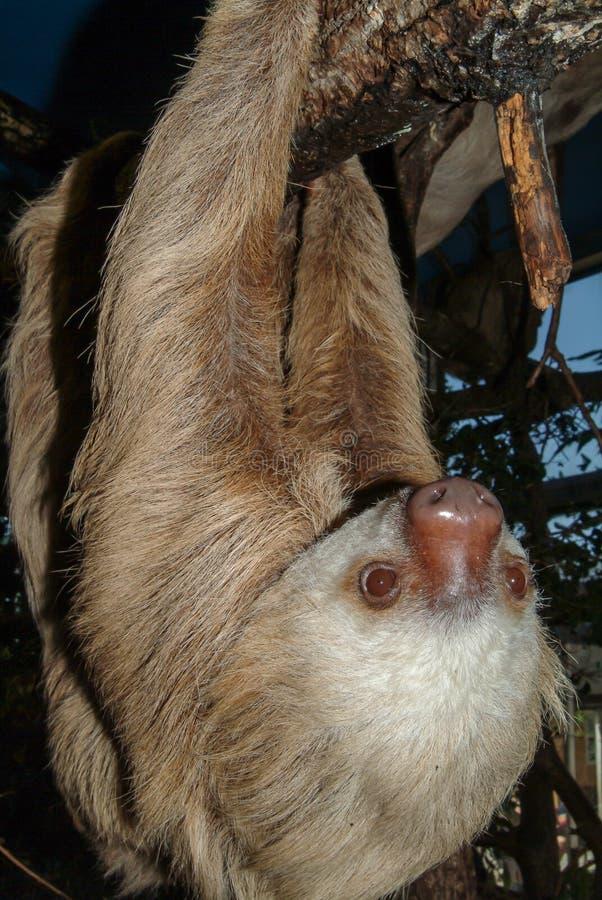 En hoffmann` s Två-toed sengångaren, Choloepushoffmannii fotografering för bildbyråer