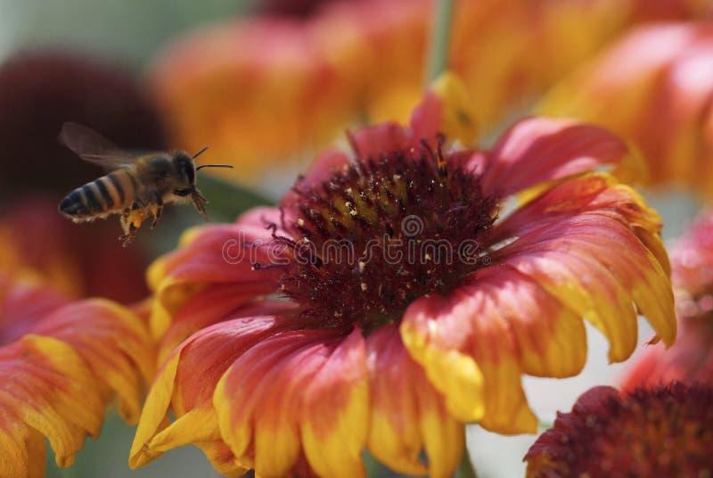 En Honey Bee Hovers Over en filtblomma royaltyfri bild