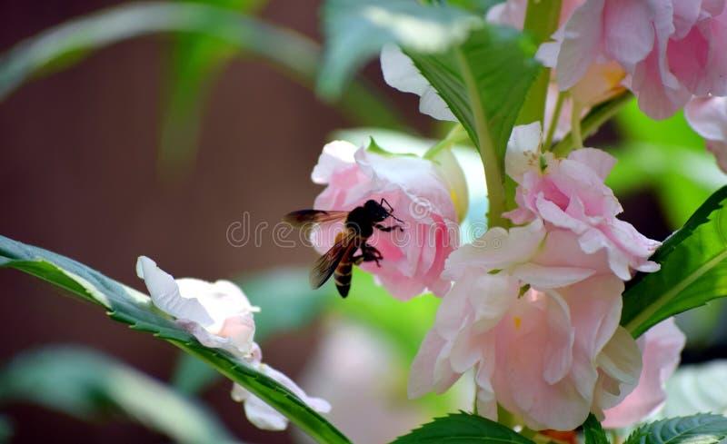 En honungsbi sitter på en rosa blomma I min trädgård royaltyfri bild