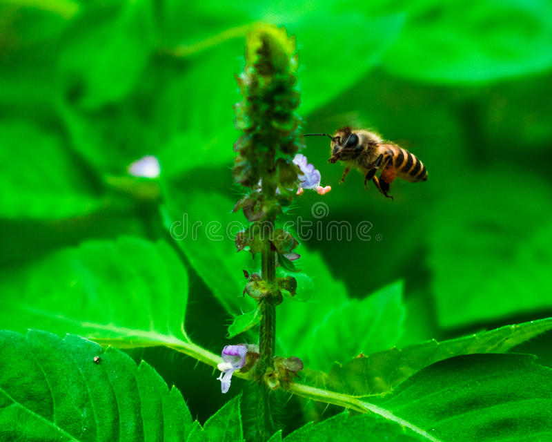 En honungsbi som samlar nektar arkivfoton