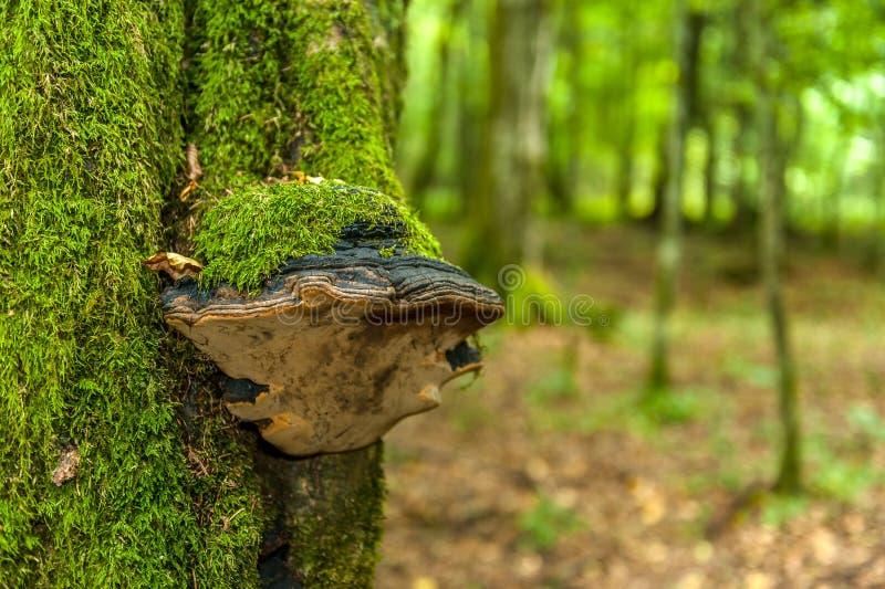 En huba som är bevuxen med mossa på stammen av ett träd royaltyfria foton