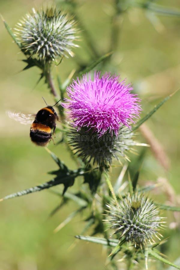 En humla samlar pollen av tistelblomman royaltyfri foto
