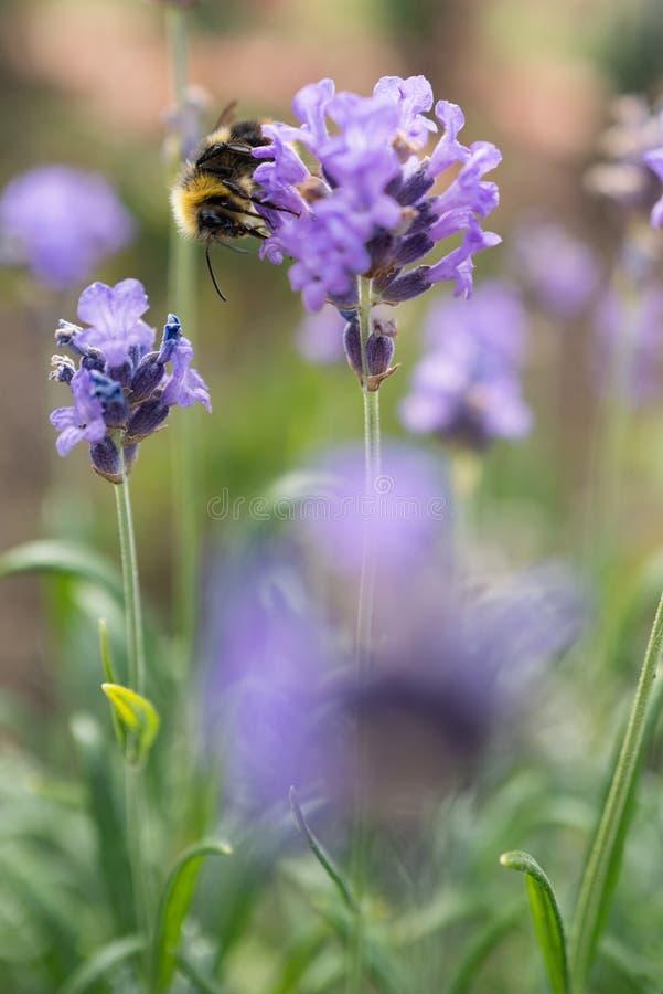 En humlor som njuter av blommor i en trädgård Fokus är mjuk royaltyfria bilder