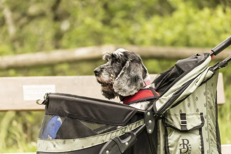 En hund i en husdjurPram som ser lycklig på att skjutas längs en bana arkivfoton