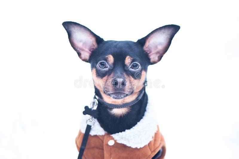 En hund, en leksakterrier, en stylishly klädd liten hund i sheepski fotografering för bildbyråer