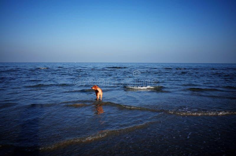 En hund på stranden av den Weizhou ön royaltyfri foto
