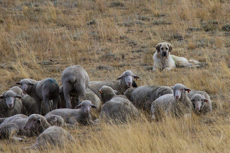 En hund som håller ögonen på över fåren royaltyfri bild
