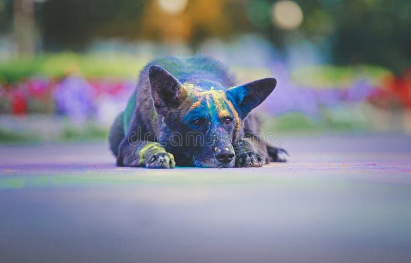 En hund som har gyckel med målarfärger av holien royaltyfri bild