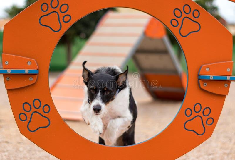 En hund som hoppar utbildande vighet royaltyfria bilder