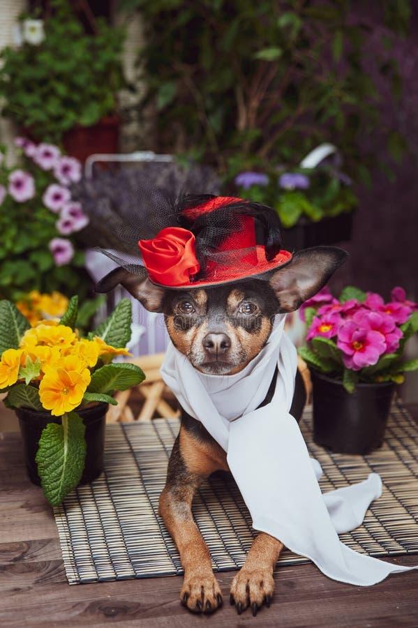 En hund som kläs som en lyxig diva och att bära en hatt och en halsduk som omges av blommor, arkivfoton