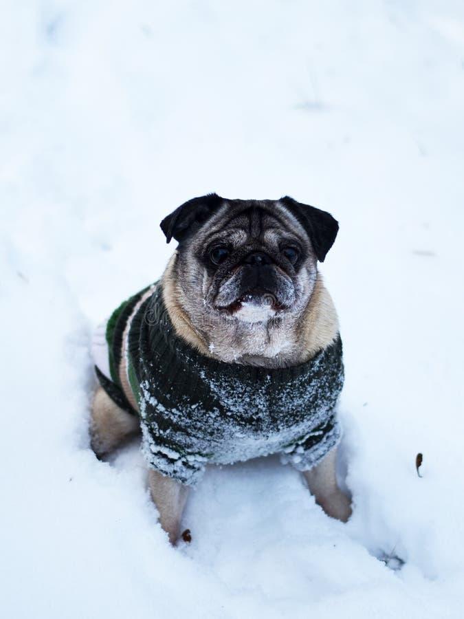 En hundmops på gatan sitter royaltyfria foton