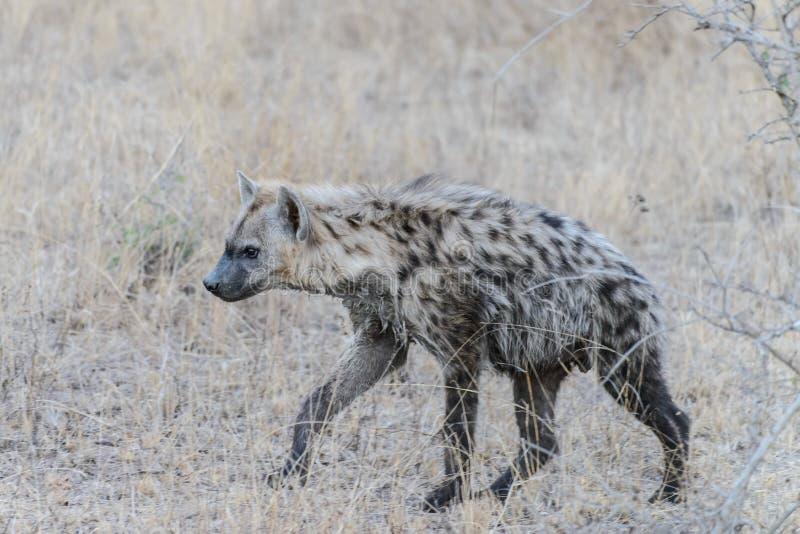En hyena arkivfoto