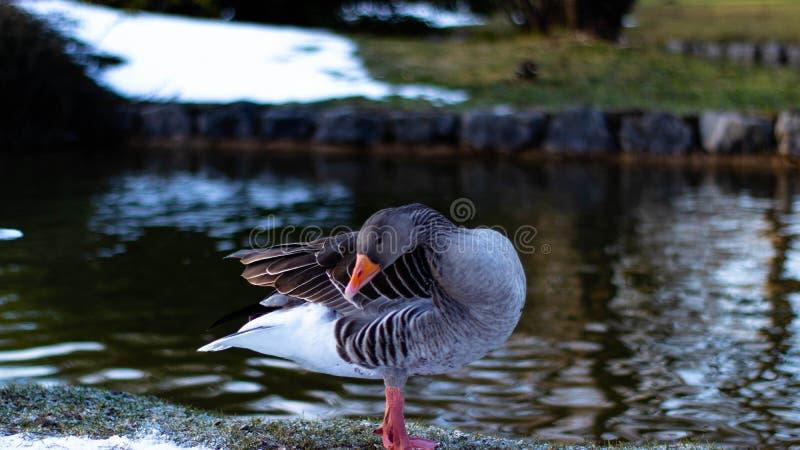 En and i engelsk trädgårdframsidaframdel arkivfoto