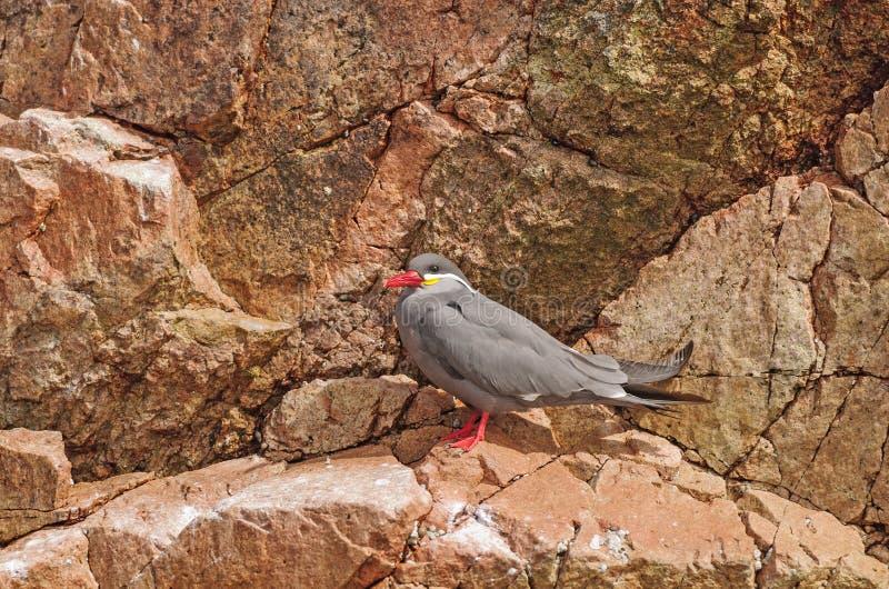 En Inca Tern på en Rocky Island arkivfoto