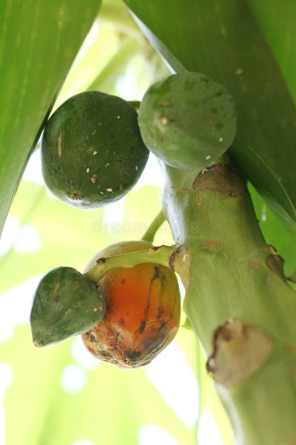 En infekterad frukt av papayaen vid papayamealybug - Carica papaya arkivbilder