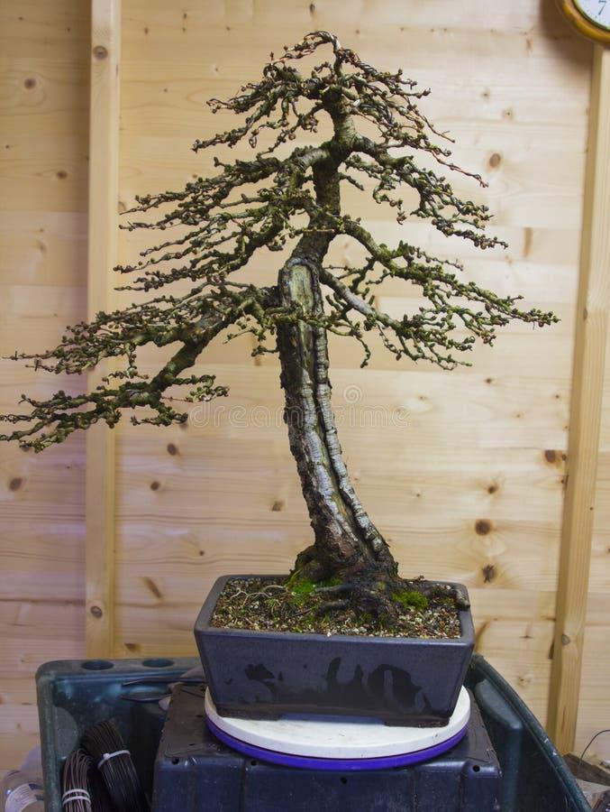 En informell upprätt stilLarixKaempheri bonsai efter tidigt vårunderhållsarbete royaltyfri bild