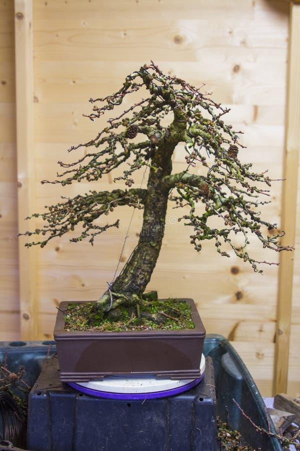 En informell upprätt stilLarixKaempheri bonsai efter tidigt vårunderhållsarbete royaltyfri foto