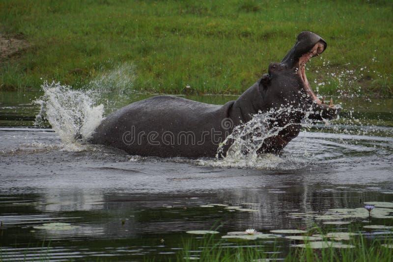 En inte road flodhäst i en waterhole i Botswana arkivbilder