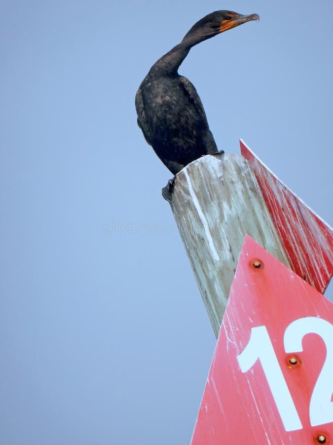 En intressant vinkelplats av en dubbel krönad kormoranfågel som sätta sig på en pol med halsen som vrids för att vända huvudet royaltyfria foton