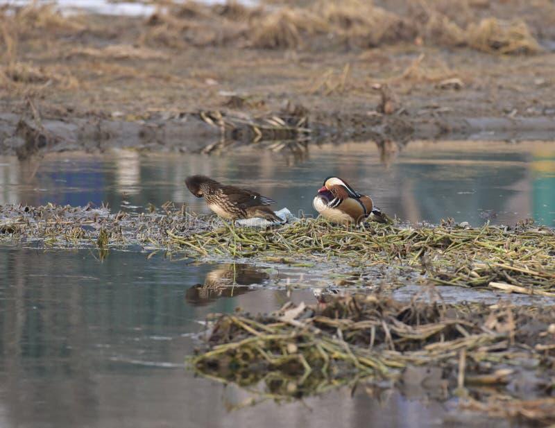 En invierno, los patos de mandarín están en el lago foto de archivo