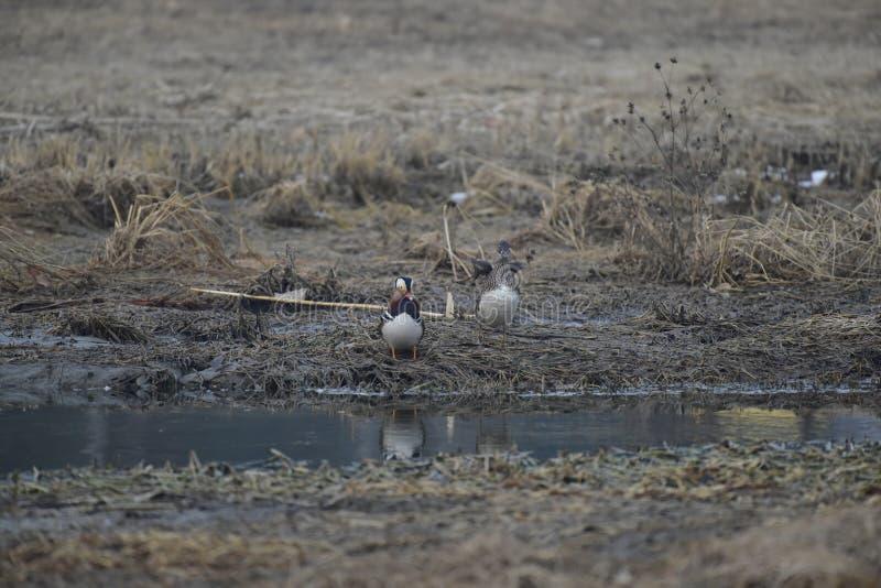 En invierno, los patos de mandarín están en el lago imágenes de archivo libres de regalías