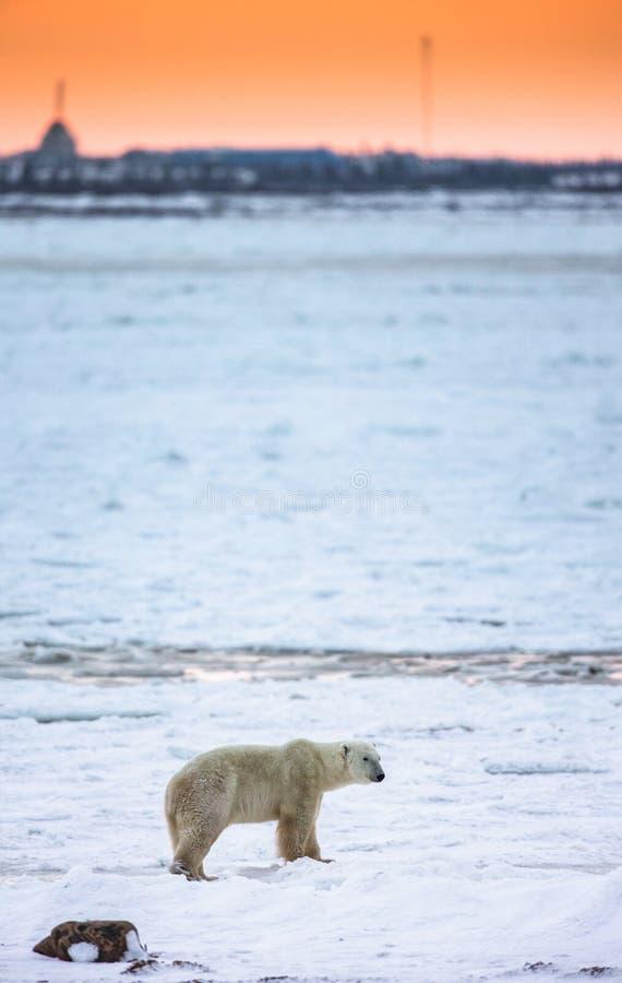 En isbjörn på tundran på solnedgången och översikterna av staden Kanada arkivfoton