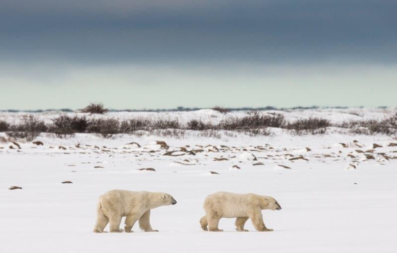 En isbjörn på tundran snow Kanada royaltyfri fotografi