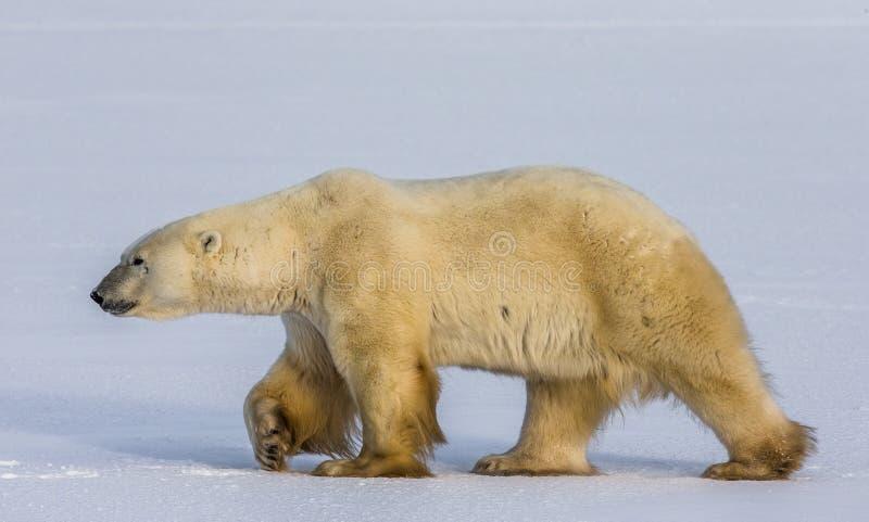 En isbjörn på tundran snow Kanada royaltyfri bild