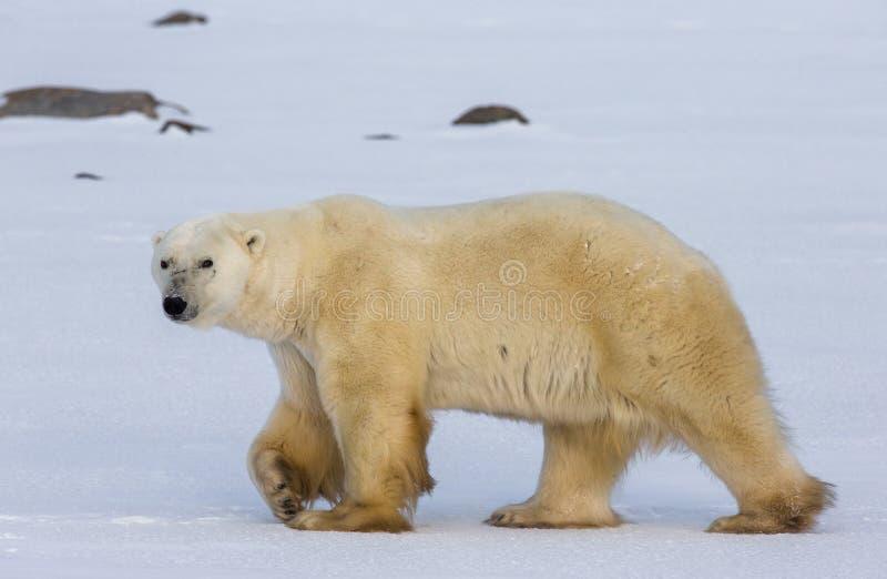 En isbjörn på tundran snow Kanada arkivfoto
