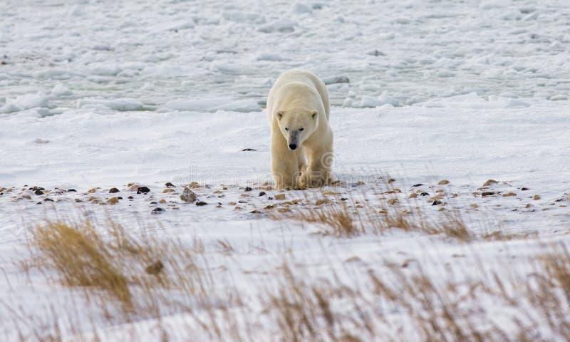 En isbjörn på tundran snow Kanada royaltyfria foton