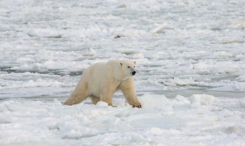 En isbjörn på tundran snow Kanada arkivfoton