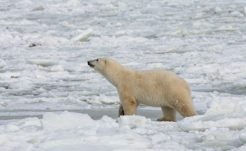 En isbjörn på tundran snow Kanada fotografering för bildbyråer