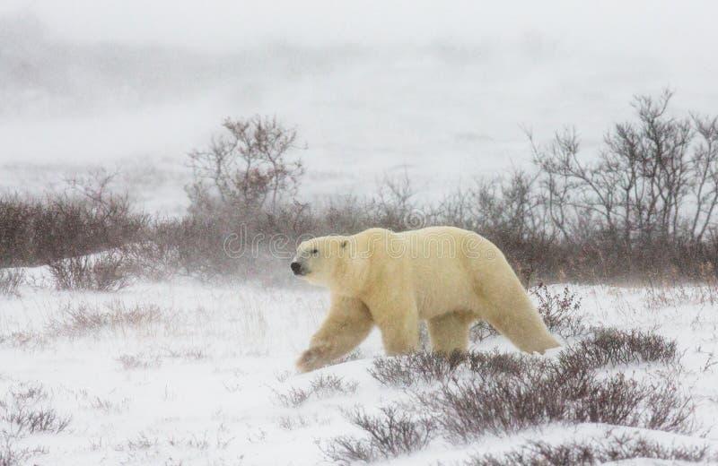 En isbjörn på tundran snow Kanada royaltyfri foto