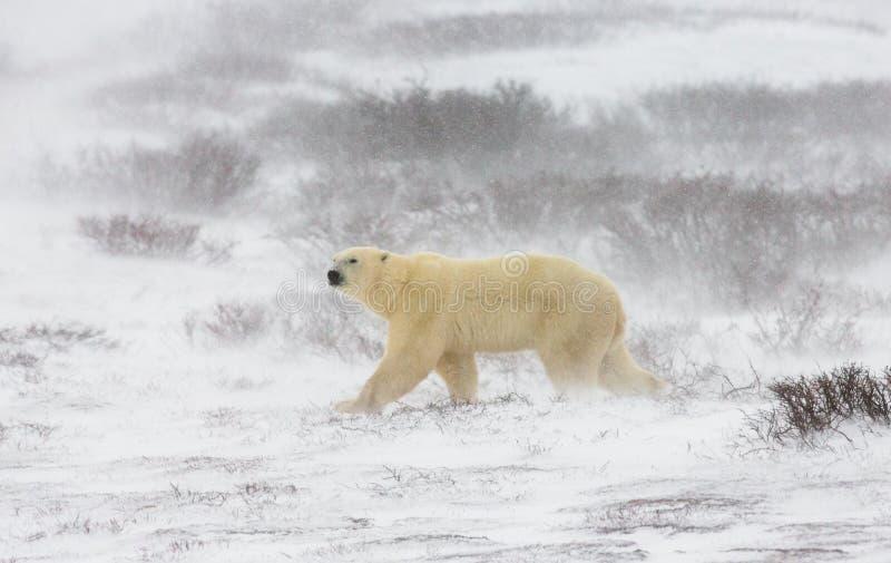 En isbjörn på tundran snow Kanada royaltyfria bilder