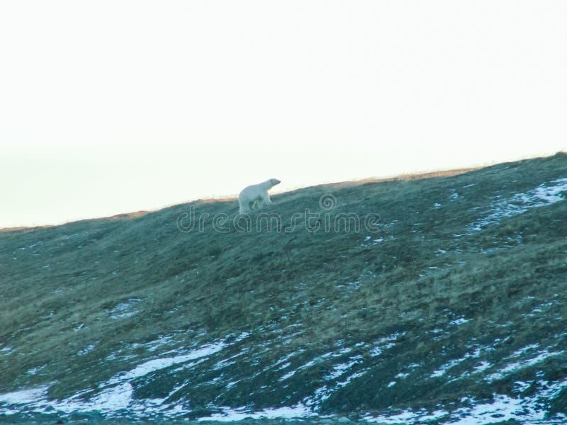 En isbjörn promenerar en lutning royaltyfria foton