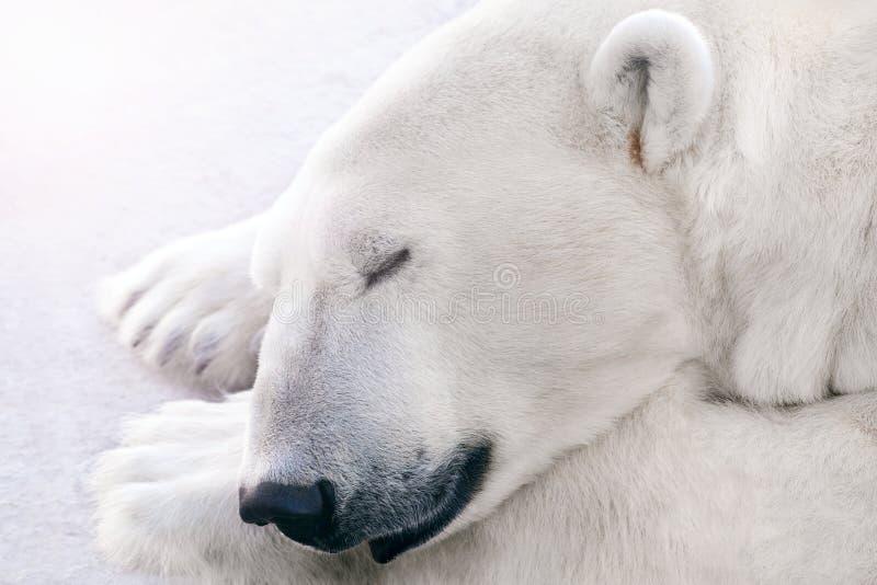 En isbjörn sover på isen royaltyfri fotografi