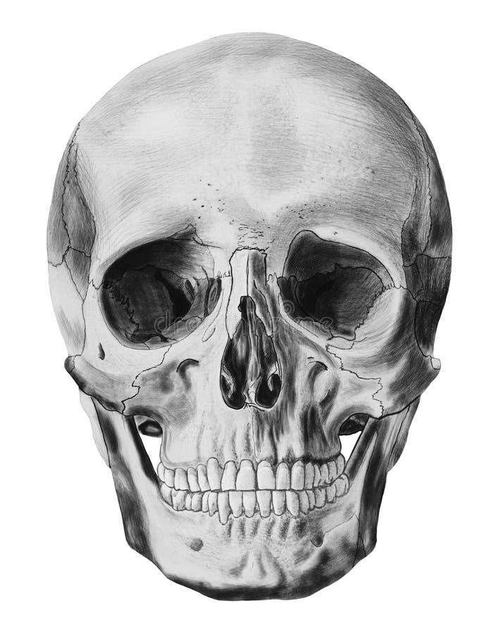 En isolerad illustration av den mänskliga skallen stock illustrationer