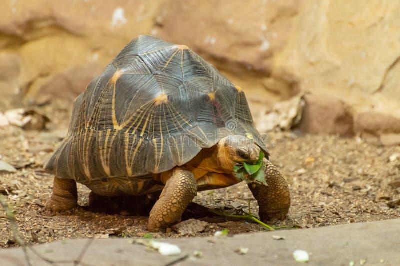 En isolerad strålningssköldpadda som äter ett blad arkivfoto
