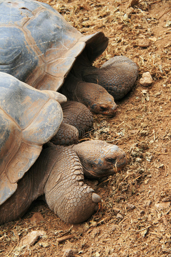 En jätte- Galapagos sköldpadda fotografering för bildbyråer