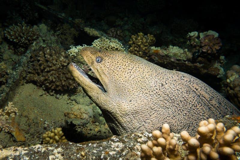 En jätte- morayål arkivbild
