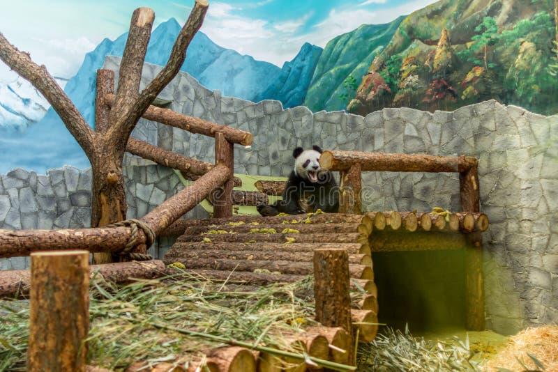 En jätte- panda som sitter på träkonstruktionen och äter bambu, främre sikt Gulliga djur av Kina royaltyfria foton