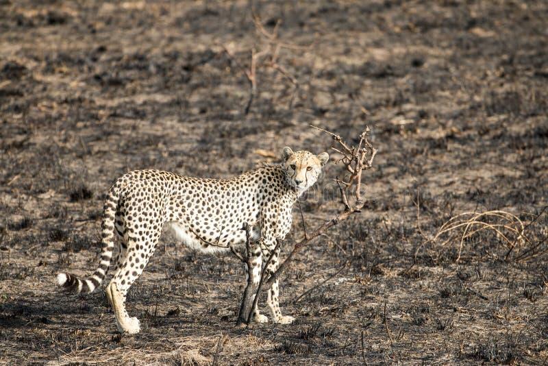En jachtluipaard die bevinden zich staren royalty-vrije stock afbeelding